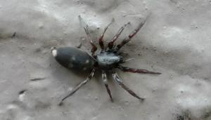 Pest Control Auckland white tail Spiders