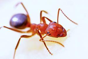 pest control onehunga auckland ants