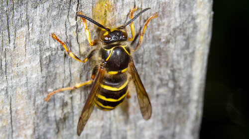Pest control Auckland wasps