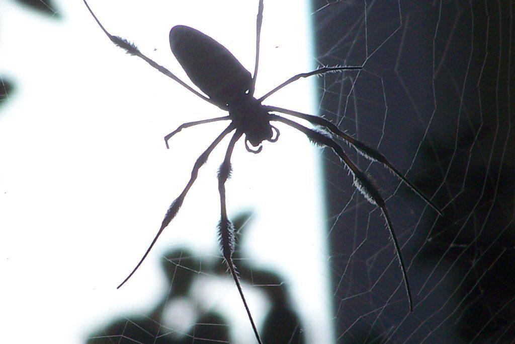 Pest control Auckland spiders