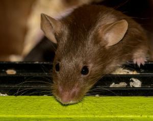 Pest control Auckland mice