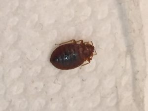 Pest control Auckland bed bugs