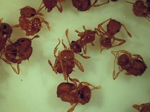 Pest control Auckland Ants
