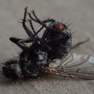 Pest control Auckland flies