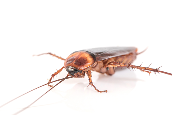 WHAT IS MY PEST COCKROACH?