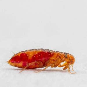 Pest control Auckland fleas