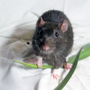 Pest control Auckland rats