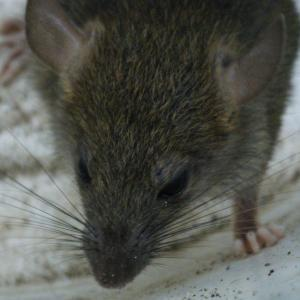 Pest control Auckland rodents
