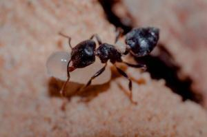 Pest control Auckland Ants