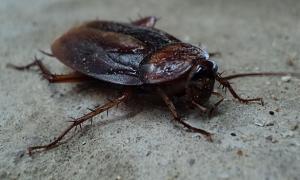 Pest control Auckland cockroach