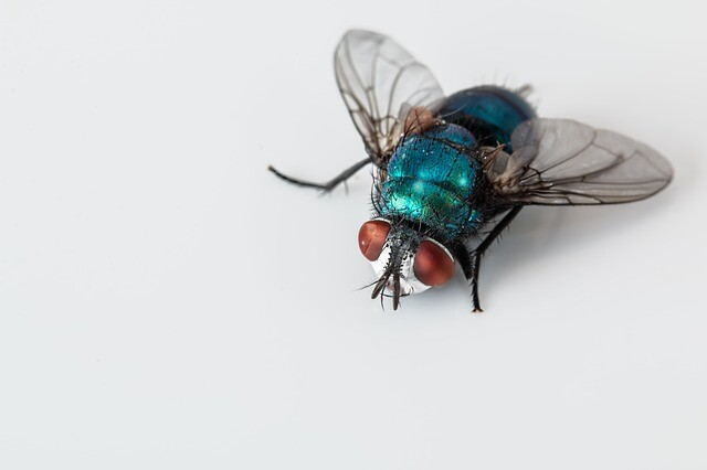 FLIES PEST CONTROL WHAT IS MY PEST?