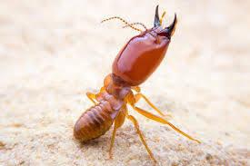 Pest control Auckland Termite