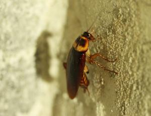 Pest control Auckland cockroaches