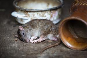 Pest control Auckland rat