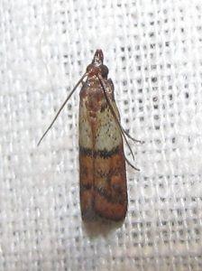 pantry moth extermination north shore