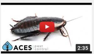 gisborne cockroach house spray