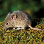 mouse causing flood in Auckland homes
